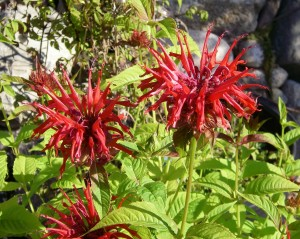 Pure red Bee balm